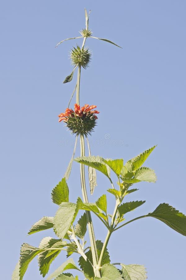 De bloemen van de leeuw` s staart stock foto's