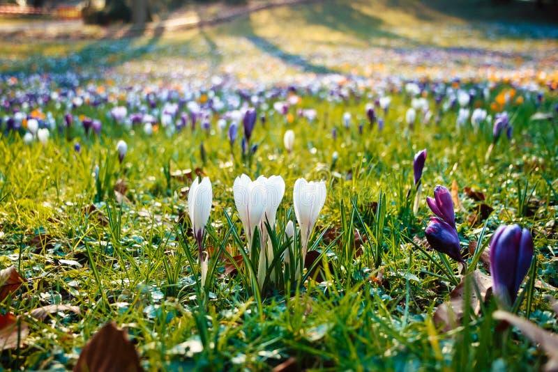 De bloemen van de lente in de tuin stock foto
