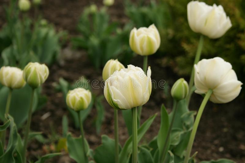 De bloemen van de lente - witte tulpen stock afbeeldingen