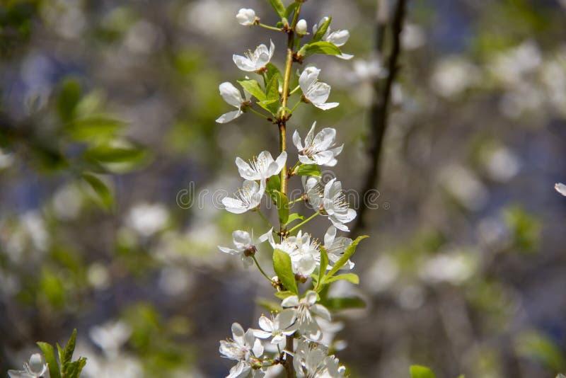 De bloemen van de de lenteappel in bloesem - de achtergrond van de de lentebloem royalty-vrije stock afbeeldingen