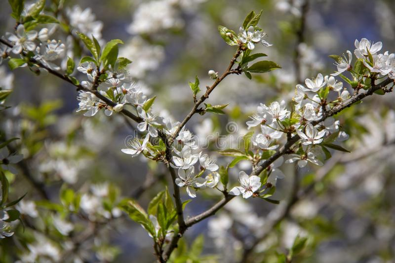 De bloemen van de de lenteappel in bloesem - de achtergrond van de de lentebloem royalty-vrije stock foto