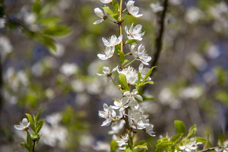 De bloemen van de de lenteappel in bloesem - de achtergrond van de de lentebloem royalty-vrije stock foto's