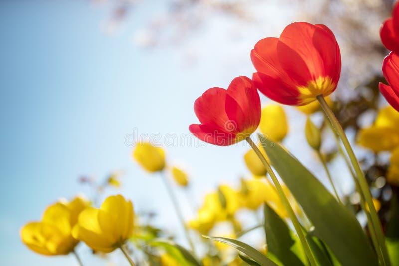 De bloemen van de de lentetulp tegen een blauwe hemel in de zonneschijn stock foto