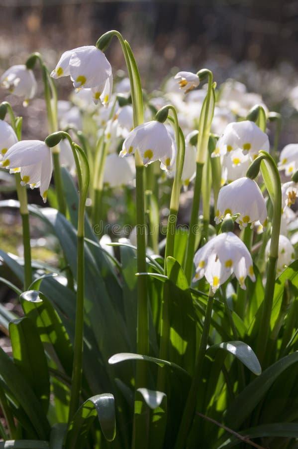 De bloemen van Leucojumvernum, vroege de lentesneeuwvlokken op de weide stock foto