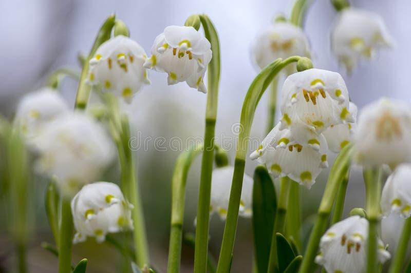 De bloemen van Leucojumvernum, vroege de lentesneeuwvlokken op de weide royalty-vrije stock afbeelding