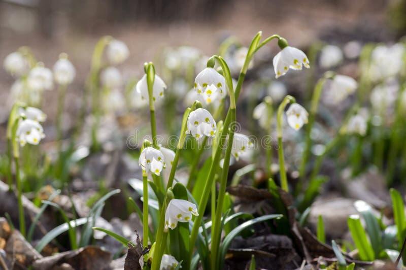 De bloemen van Leucojumvernum, vroege de lentesneeuwvlokken op de weide royalty-vrije stock fotografie
