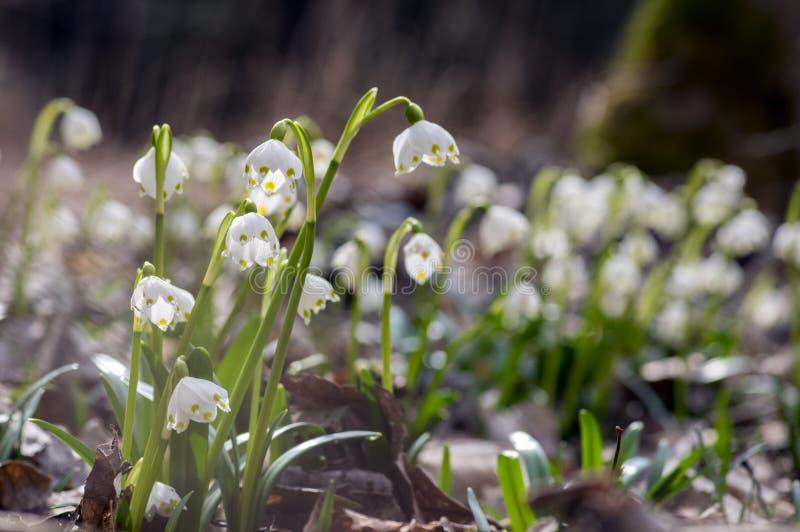 De bloemen van Leucojumvernum, vroege de lentesneeuwvlokken op de weide royalty-vrije stock afbeeldingen