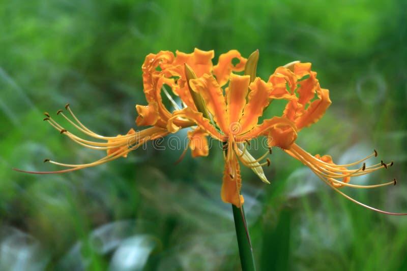 De bloemen van Lycorisradiata in volledige bloei royalty-vrije illustratie