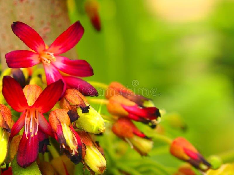 De bloemen van Magnoliopsidaoxalidaceae Averrhoa royalty-vrije stock fotografie