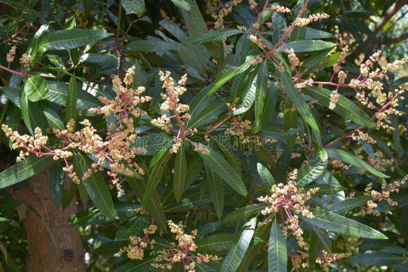 De bloemen van de mangoboom stock foto's