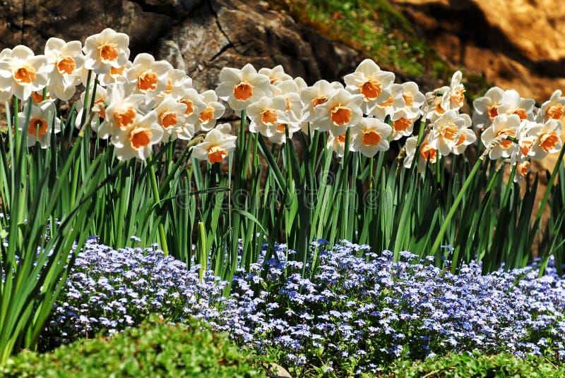 De Bloemen van narcissen   stock afbeeldingen