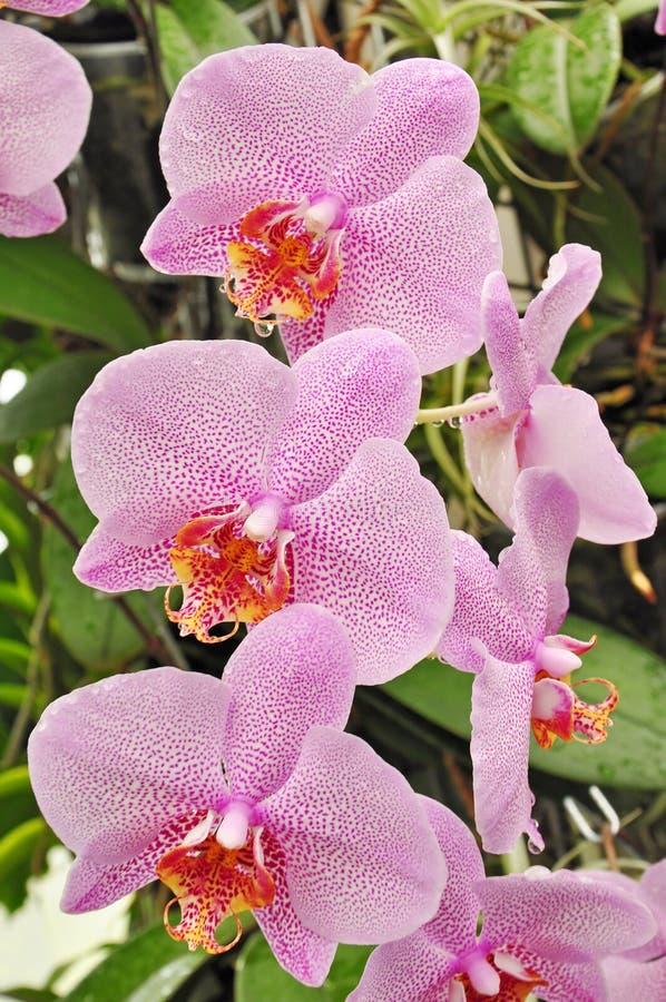 De bloemen van orchideeën royalty-vrije stock fotografie
