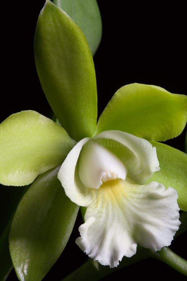 De bloemen van orchideeën (Cattleya SP) royalty-vrije stock foto's