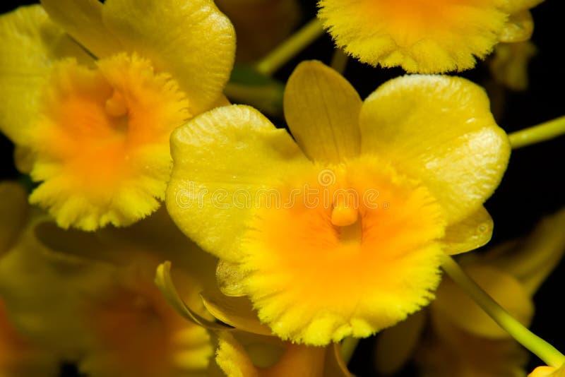 De bloemen van orchideeën (Dendrobium SP stock foto's