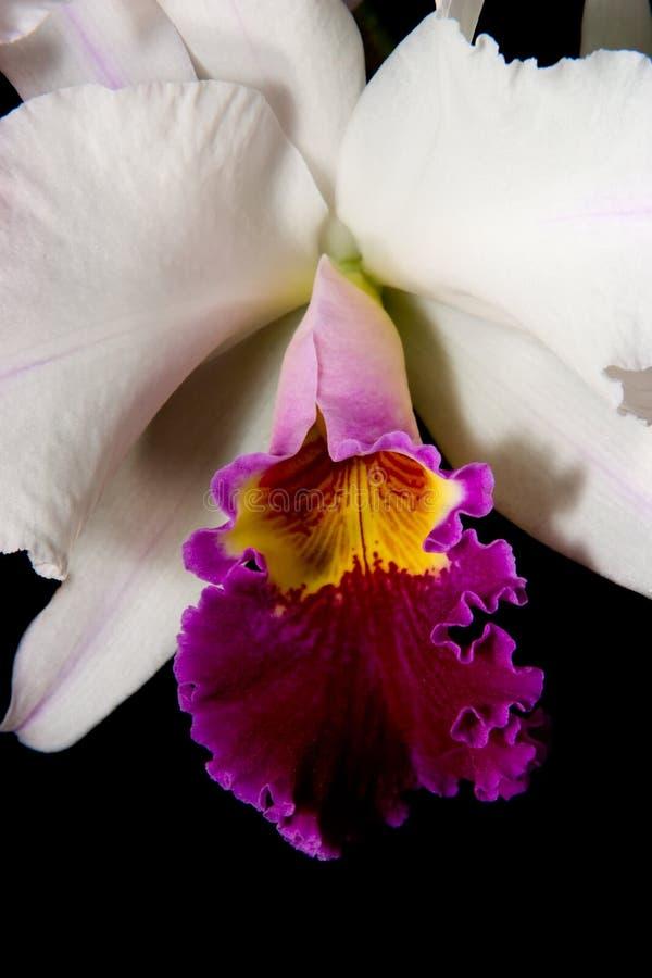 De bloemen van orchideeën (Dendrobium SP) stock afbeeldingen
