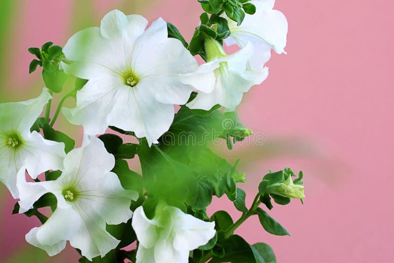 De bloemen van petuniaaxillaris zijn ook genoemd geworden grote witte petunia op een roze achtergrond royalty-vrije stock foto's