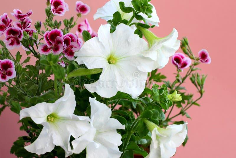 De bloemen van petuniaaxillaris zijn ook genoemd geworden grote witte petunia op een roze achtergrond royalty-vrije stock afbeeldingen