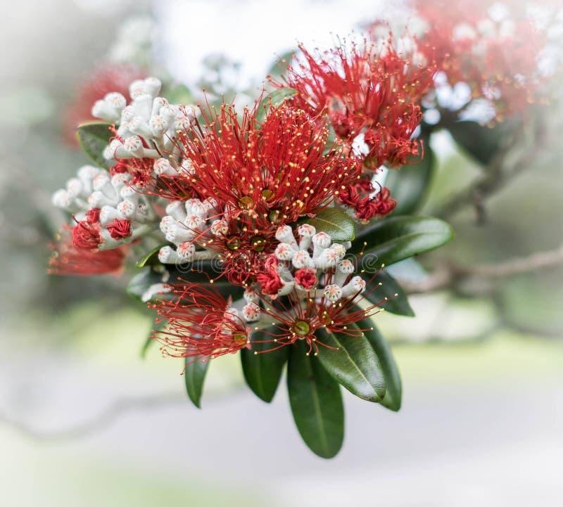De Bloemen van Pohutukawa stock foto's