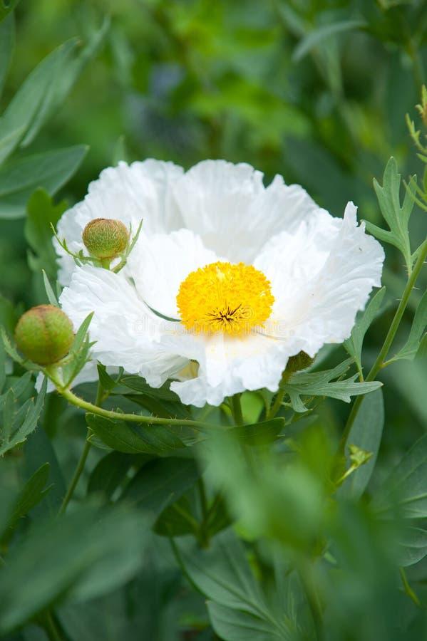 De bloemen van Puakala stock afbeeldingen
