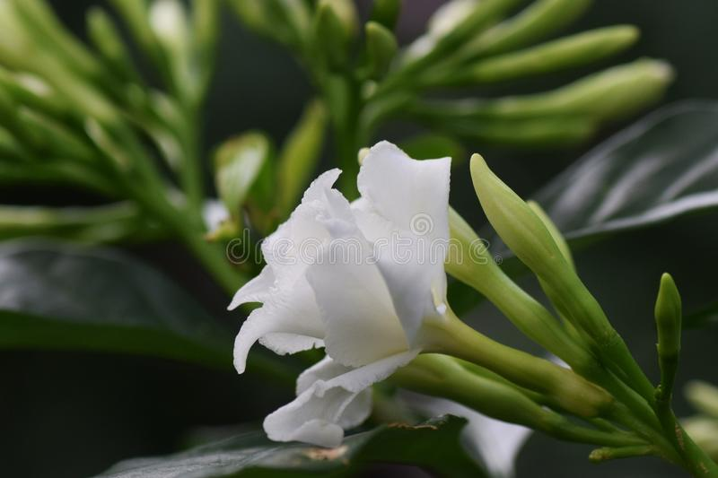 De bloemen van de rouwbandjasmijn royalty-vrije stock foto