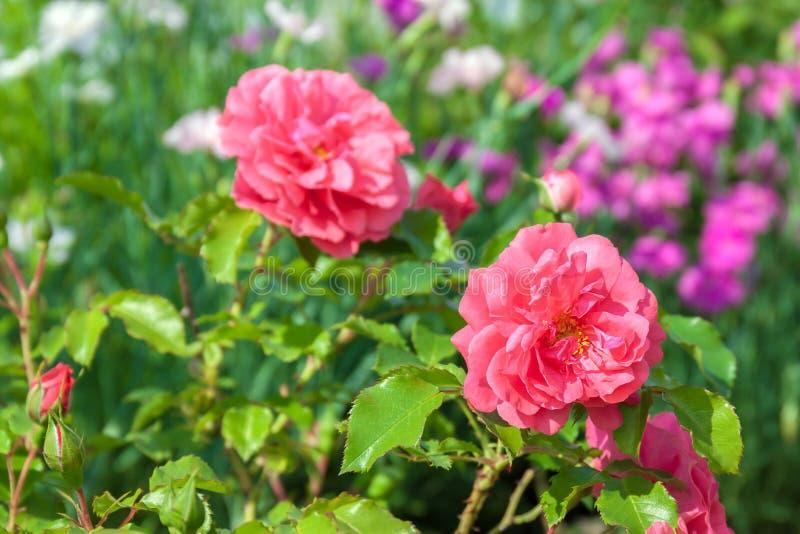 De bloemen van roze rozen hebben het bloeien in een tuin op bloembed stock afbeelding