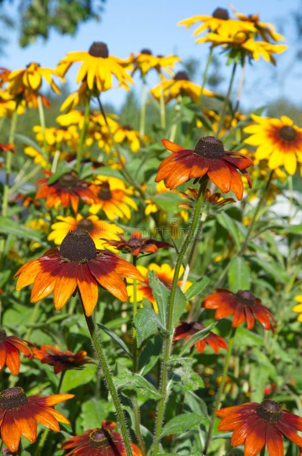 De bloemen van rudbeckia in de zomer tuinieren stock fotografie