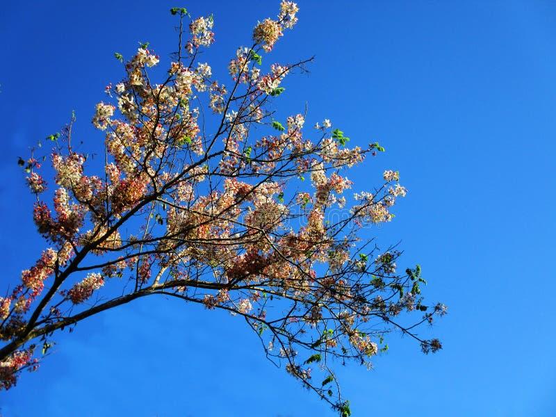De bloemen van Sakura royalty-vrije stock afbeelding