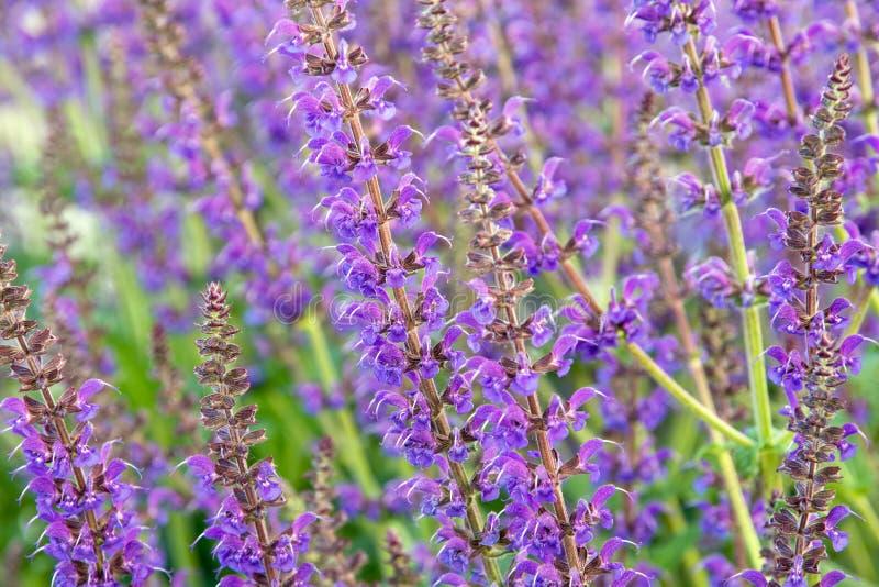 De bloemen van Salviaofficinalis stock afbeeldingen