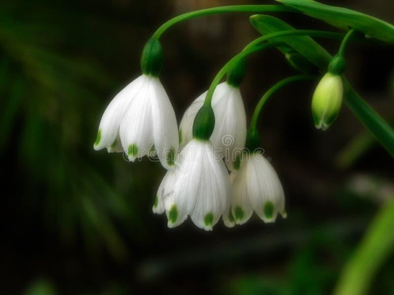 De bloemen van de sneeuwdaling na de regen royalty-vrije stock fotografie