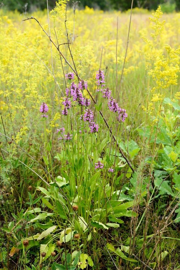 De Bloemen van Stachysofficinalis royalty-vrije stock afbeelding