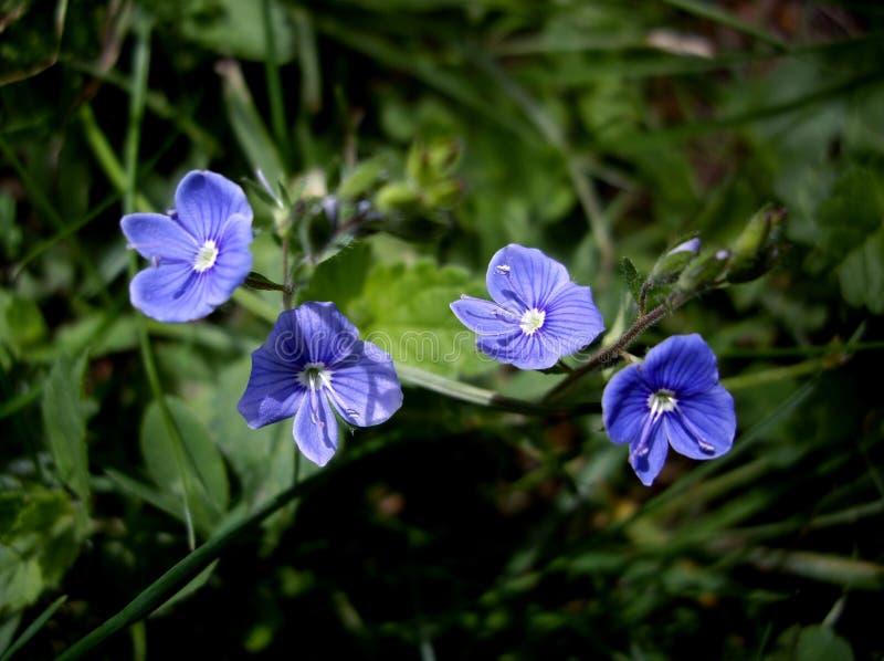 De bloemen van Veronica stock fotografie