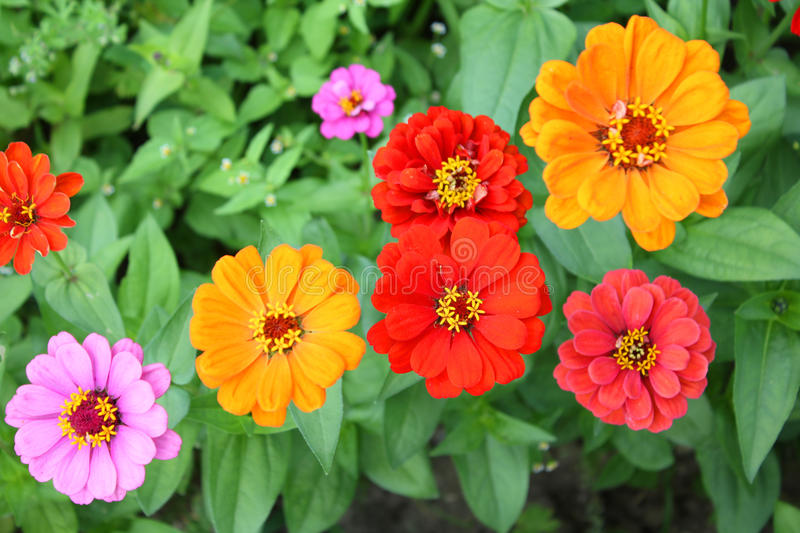 De bloemen van Zinnia royalty-vrije stock foto