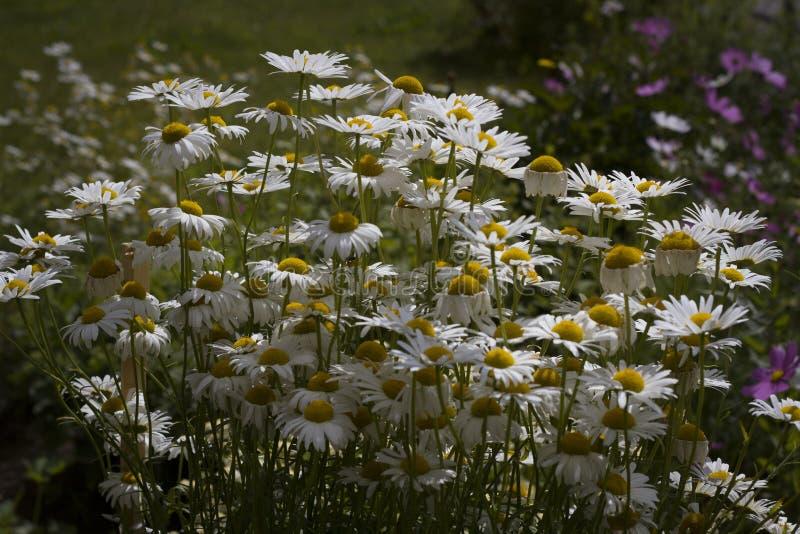 De bloemen van de zomer De kleine heldere margriet bloeit dicht omhoog stock afbeelding
