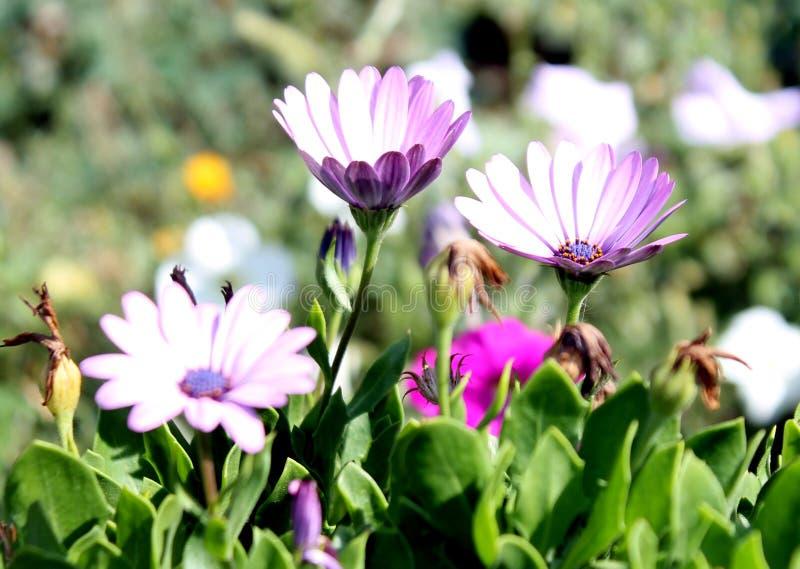 De bloemen verbleken viooltje in kleur onder de open hemel in de zomer royalty-vrije stock foto