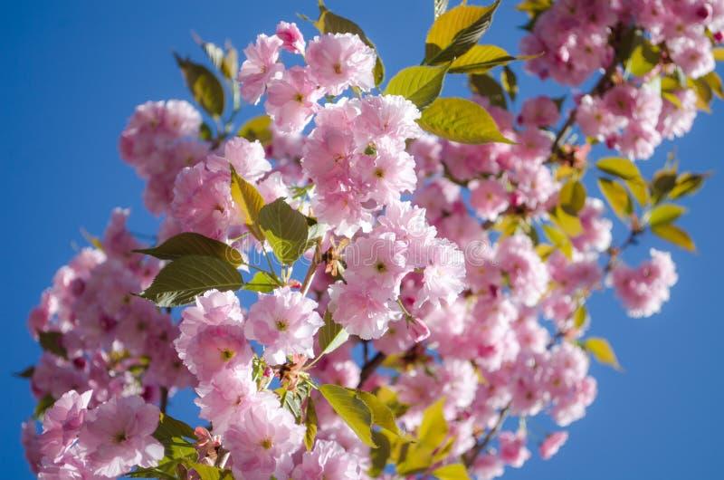 De bloemen zijn gevoelige, roze en witte kersenbloesem, die in de lente bloeien stock afbeelding