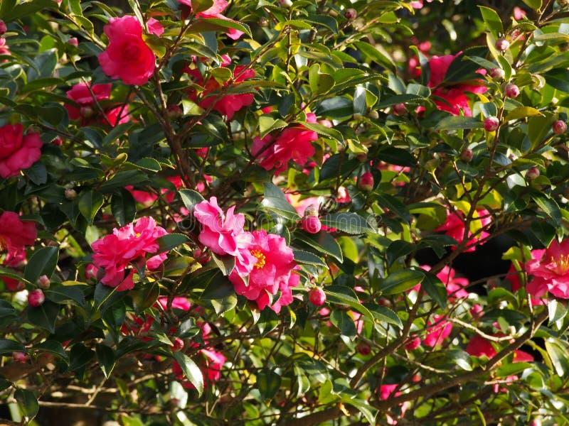 De Bloemen Zijn Het Bloeien Sasanqua Stock Afbeeldingen