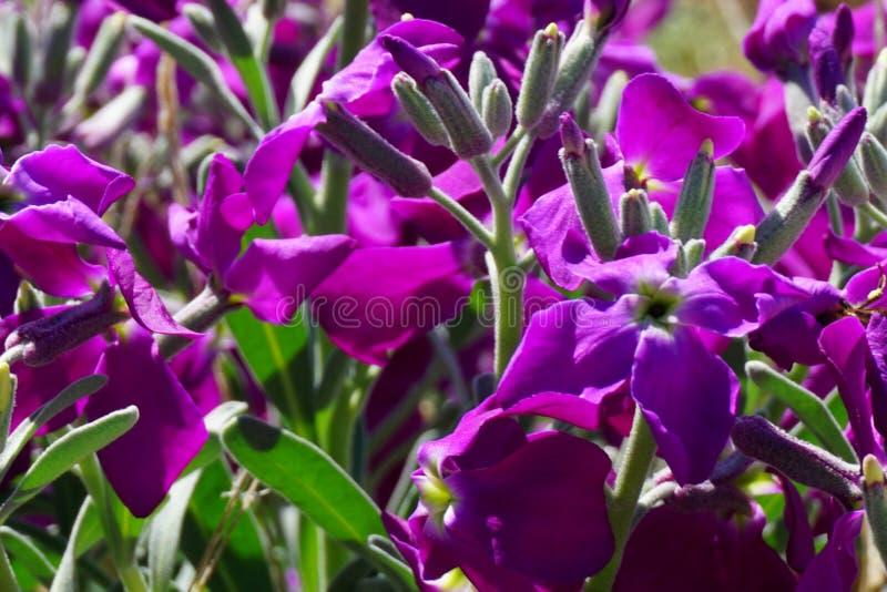 De bloemenachtergrond met leuke en zachte purpere bloemen van Klokjeportenschlagiana sluit omhoog mening royalty-vrije stock fotografie