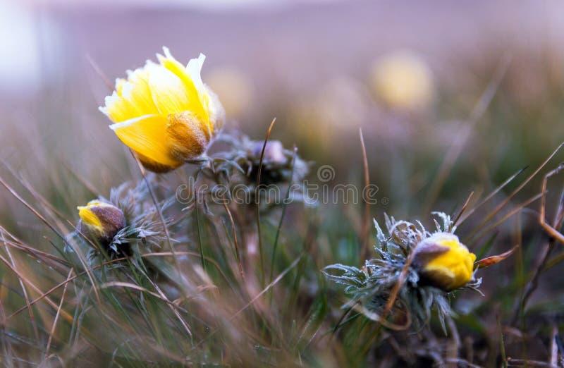 De bloemenachtergrond van de de lentezomer Geel bloemenclose-up op een gebied op aard Kleurrijk artistiek beeld De lentebloem in  royalty-vrije stock fotografie