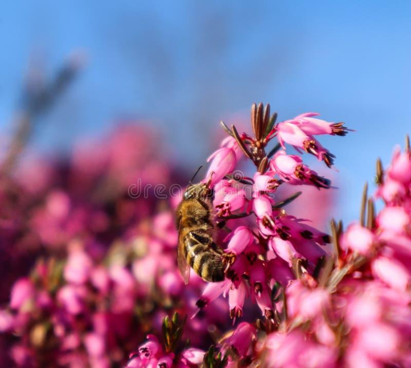 De bloemenachtergrond van roze bloemen, de blauwe hemel en een het werk bij in de lente tuinieren royalty-vrije stock afbeelding
