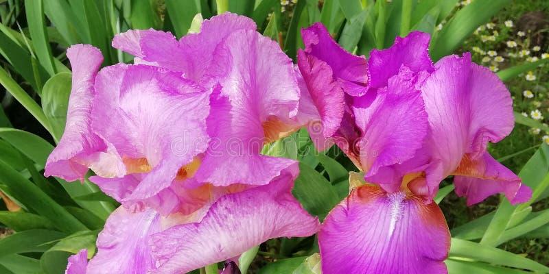 De bloemenachtergrond van de zomer Uitstekende purpere irisbloem stock afbeeldingen