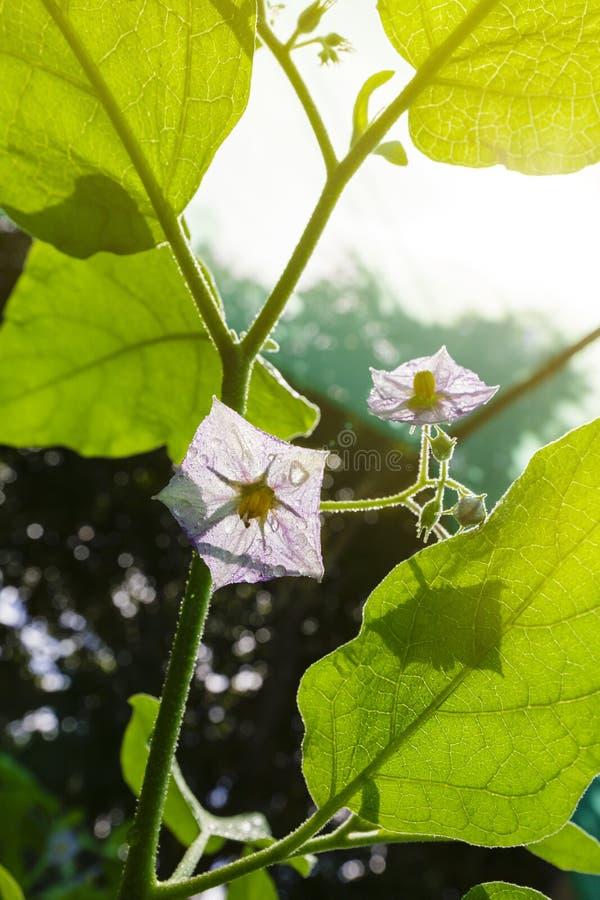 De bloemenaubergine stock afbeelding