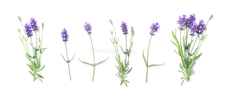 De bloemenbannervlakte legt Lavendelbloemen royalty-vrije stock afbeelding
