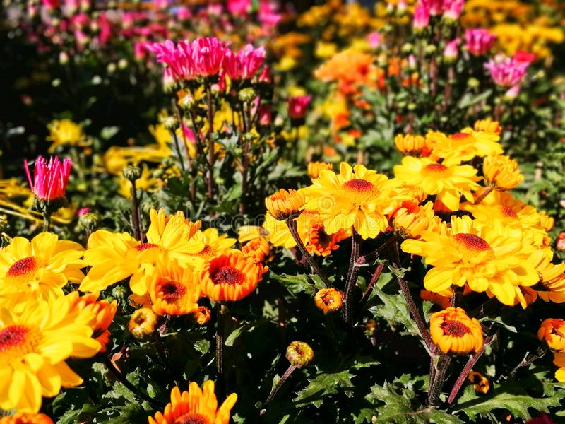 De bloemenchrysant stock foto's