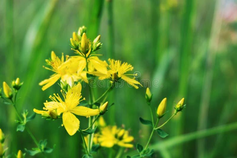 De bloemenclose-up van Hypericumperforatum Geel St John ` s Wort Antiviral en anti-inflammatory geneeskrachtige wilde installatie stock foto's