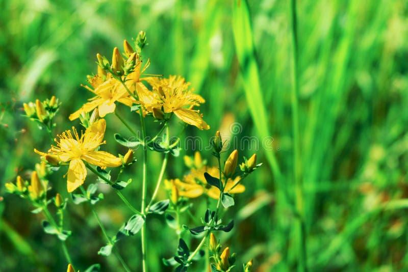 De bloemenclose-up van Hypericumperforatum Geel St John ` s Wort Antiviral en anti-inflammatory geneeskrachtige wilde installatie stock afbeeldingen