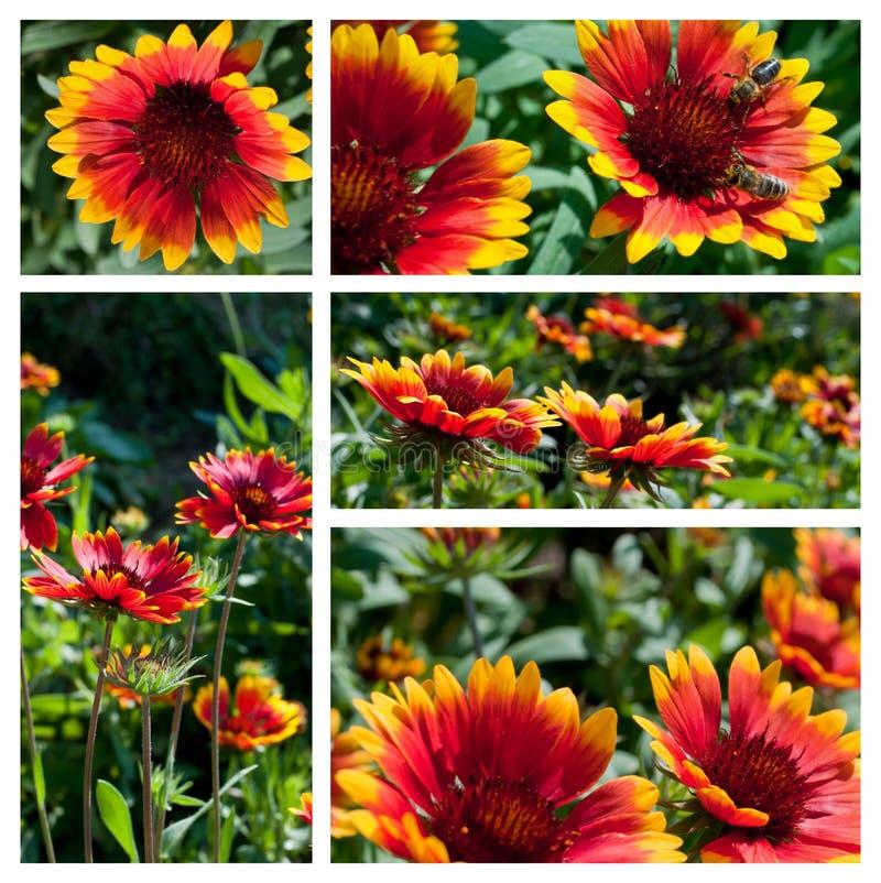 De bloemencollage van Gaillardia stock afbeelding