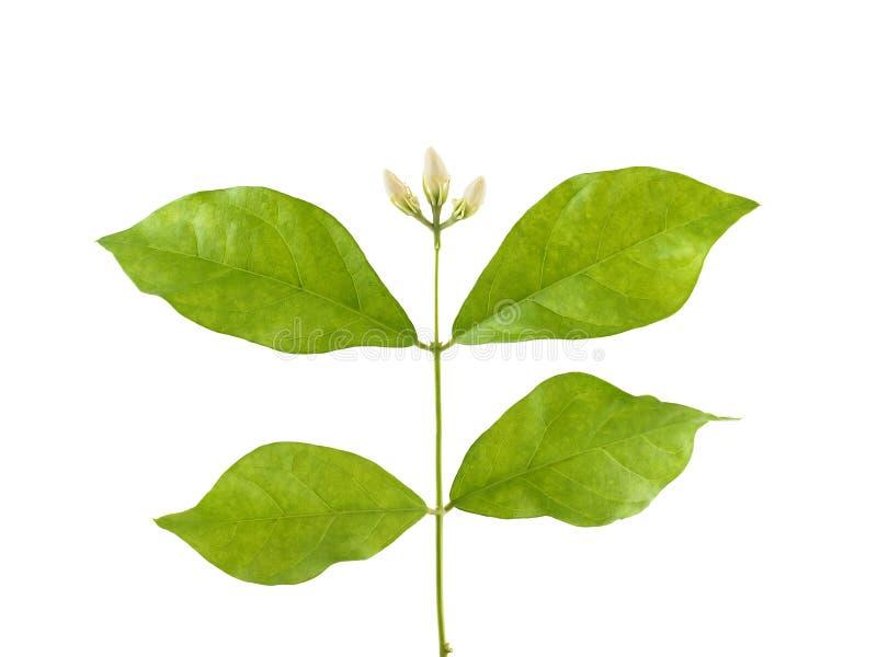 De bloemenknop van de close-up witte jasmijn en groen die blad op witte achtergrond wordt geïsoleerd stock afbeelding