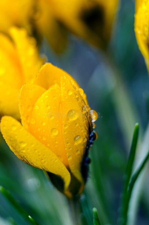 De bloemenkrokussen van de foto dichte kleine lente stock afbeeldingen