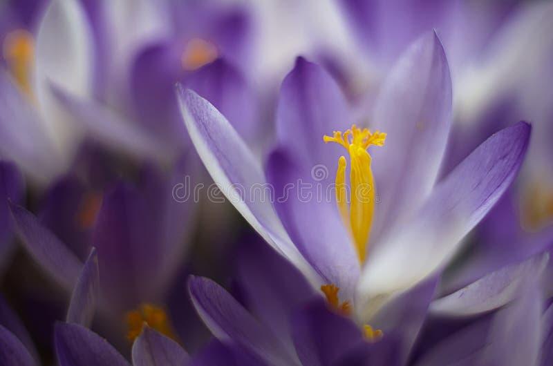 De bloemenkrokussen van de foto dichte kleine lente stock foto