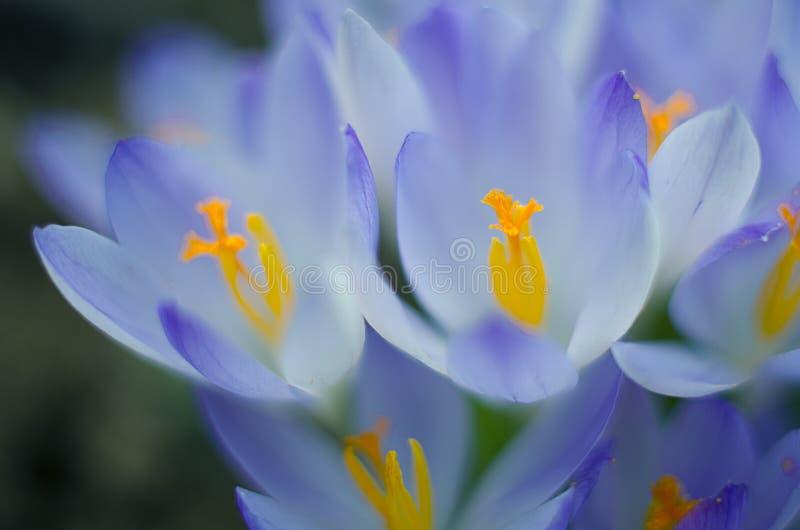 De bloemenkrokussen van de foto dichte kleine lente royalty-vrije stock foto's